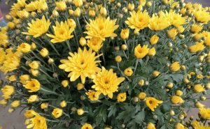 Fleurs Bourg-en-Bresse
