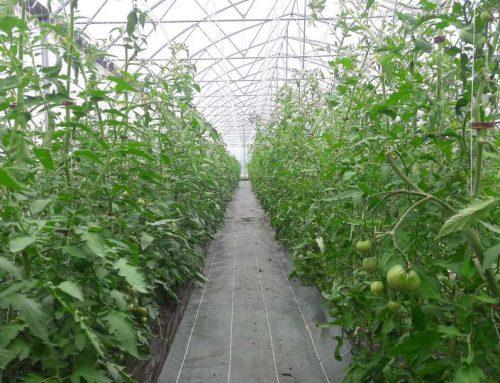 Culture raisonnée pour les tomates du Pépé