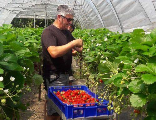 Les fraises à pépé, un produit local savoureux