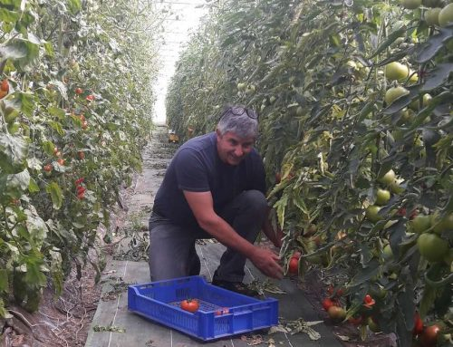 Tomates du Pépé: Début de récolte