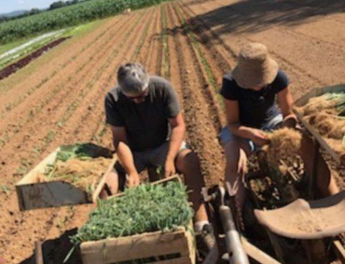 La culture du poireau aux Serres à pépé